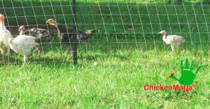 keep safe your chickens with chicken net CHICKENMALLA
