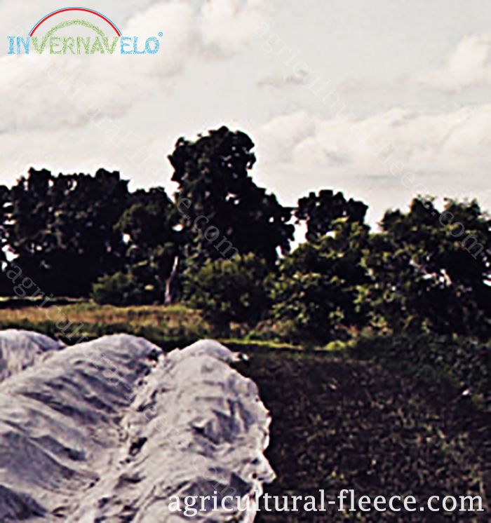 Protection of crops with invernavelo agricultural fleece against external hazard and frost damage.