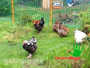 Poultry mesh is designed for protecting your flock of chickens from predators.